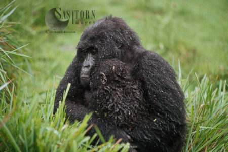 Mountain Gorilla (Gorilla G. Beringei), Female Holding Baby After Rain, Virunga Volcanoes, Rwanda