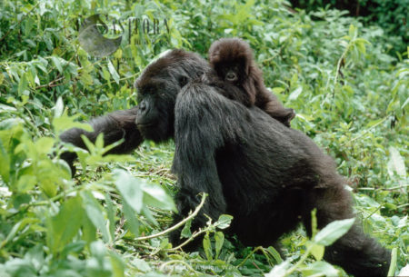 Mountain Gorilla (Gorilla G. Beringei), Female Feeding With Baby On Her Back, Virunga Volcanoes, Rwanda