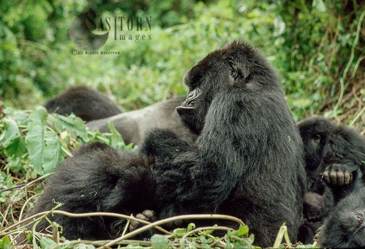 Mountain Gorilla (Gorilla g. beringei), female and juvenile, Virunga Volcanoes, Rwanda
