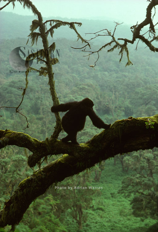 Mountain Gorilla (Gorilla G. Beringei), Juvenile Gorilla Posing On Tree, Virunga Volcanoes, Rwanda