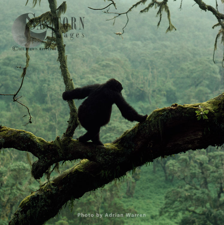 Mountain Gorilla (Gorilla G. Beringei), Juvenile Gorilla On Tree, Virunga Volcanoes, Rwanda