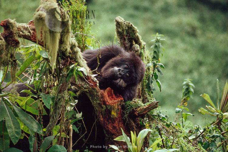 Mountain Gorilla (Gorilla G. Beringei), Juvenile Gorilla Posing, Virunga Volcanoes, Rwanda