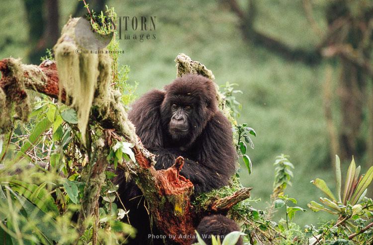 Mountain Gorilla (Gorilla G. Beringei), Juvenile Gorilla, Virunga Volcanoes, Rwanda