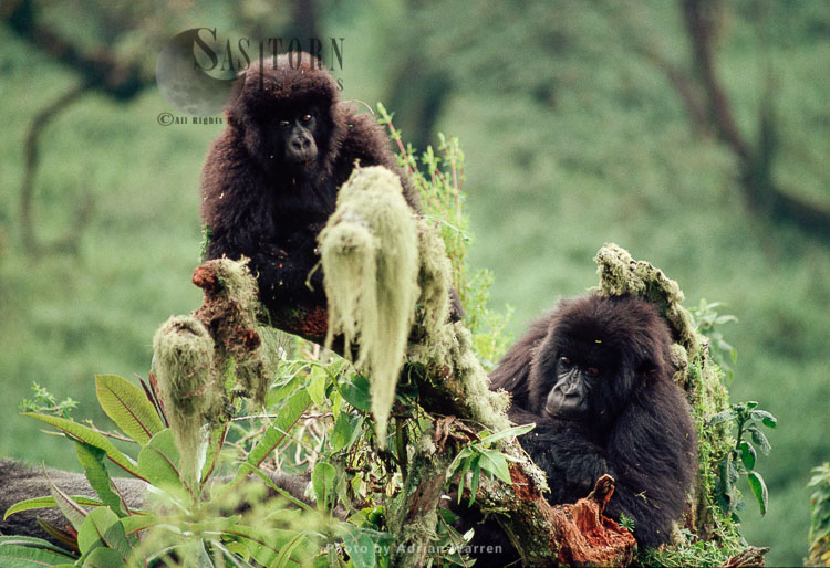 Mountain Gorilla (Gorilla G. Beringei), Two Young Gorillas, Virunga Volcanoes, Rwanda