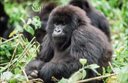Mountain Gorilla (Gorilla G. Beringei), Young Gorilla Resting, Virunga Volcanoes, Rwanda