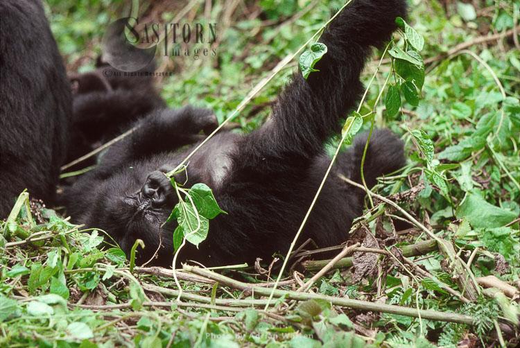Mountain Gorilla (Gorilla G. Beringei), Young Gorilla Feeding, Virunga Volcanoes, Rwanda