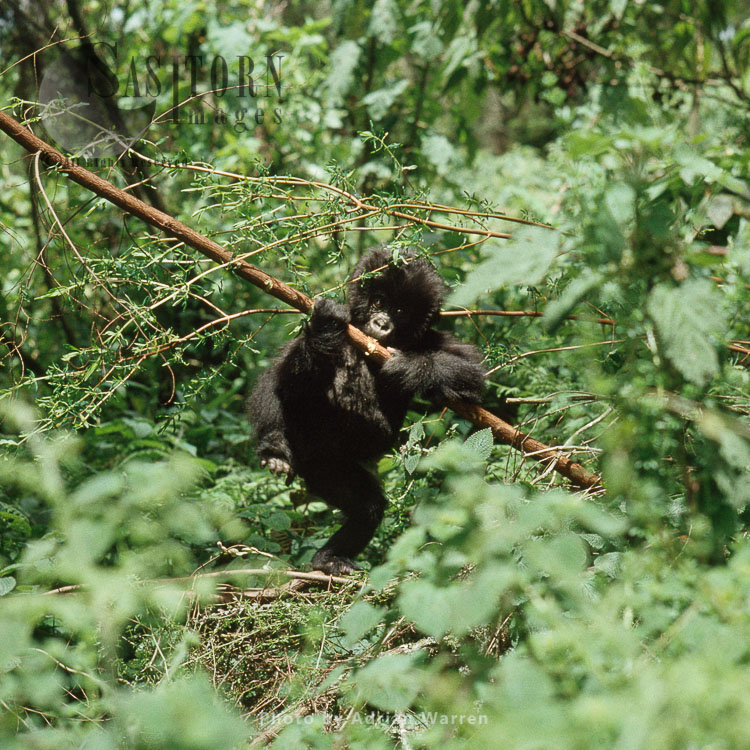 Mountain Gorilla (Gorilla G. Beringei), Infant Gorilla Play With Branch Of Tree, Virunga Volcanoes, Rwanda