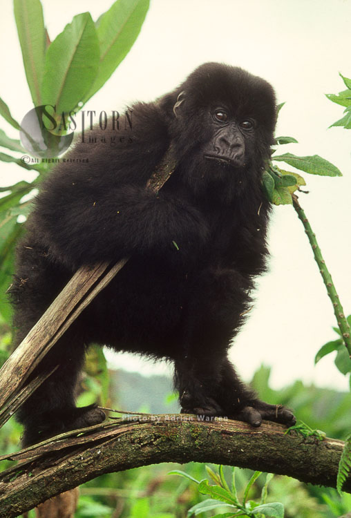 Mountain Gorilla (Gorilla G. Beringei), Infant Gorilla On Tree, Virunga Volcanoes, Rwanda