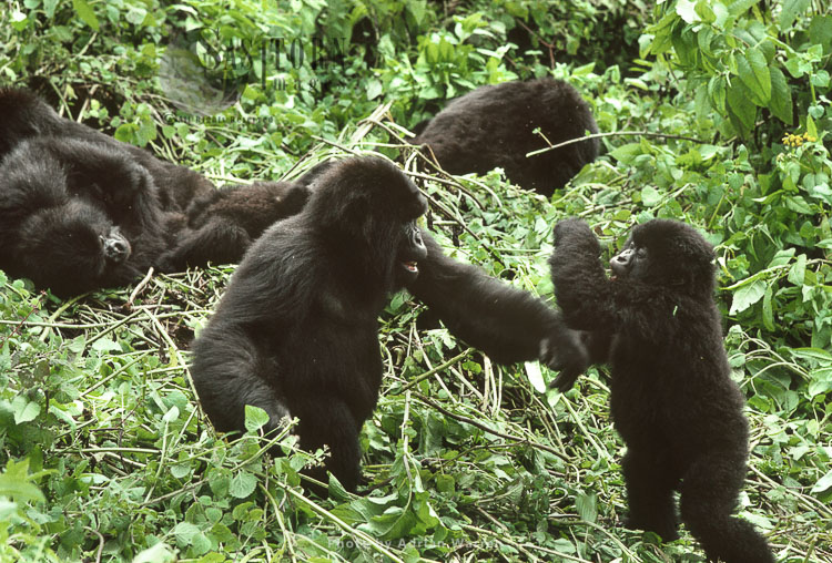 Mountain Gorilla (Gorilla G. Beringei), Two Infant Gorillas Play Fighting, Virunga Volcanoes, Rwanda