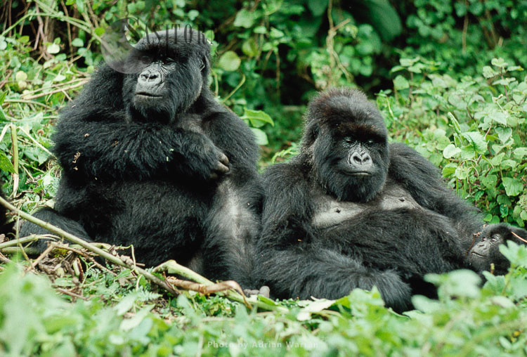 Mountain Gorilla (Gorilla G. Beringei), Two Female Gorillas Resting, Virunga Volcanoes, Rwanda