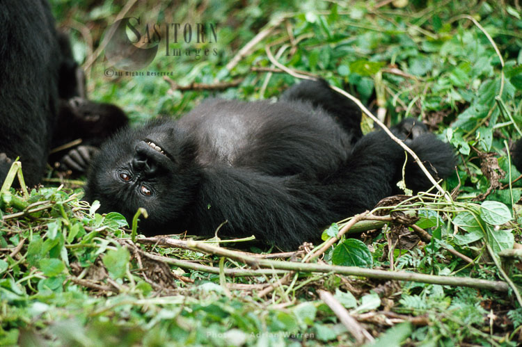 Mountain Gorilla (Gorilla G. Beringei), Juvenile Gorilla Resting, Virunga Volcanoes, Rwanda