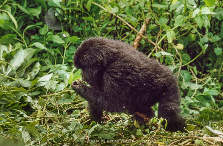 Mountain Gorilla (Gorilla G. Beringei), Juvenile Gorilla Feeding, Virunga Volcanoes, Rwanda