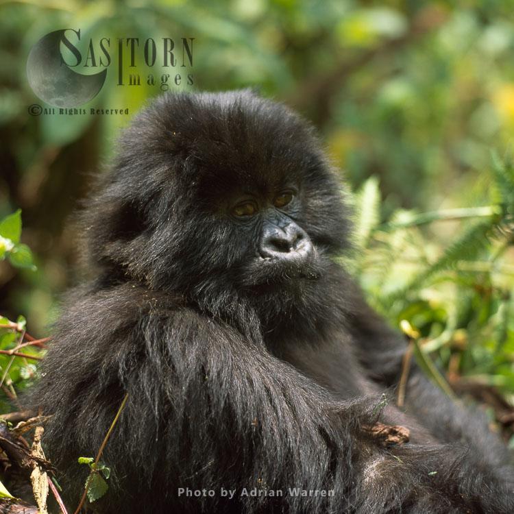 Mountain Gorilla (Gorilla G. Beringei), Young Gorilla, Virunga Volcanoes, Rwanda