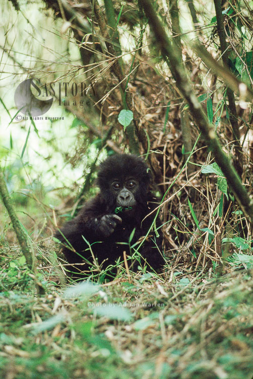 Mountain Gorilla (Gorilla G. Beringei), Infant Gorilla Feeding In Bamboo, Virunga Volcanoes, Rwanda