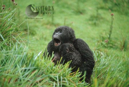 Mountain Gorilla (Gorilla G. Beringei), Female Yawning With Baby In Arm After Rain Virunga Volcanoes, Rwanda