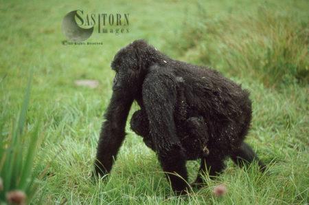 Mountain Gorilla (Gorilla G. Beringei), Female Carrying Baby Under Her Belly In The Rain, Virunga Volcanoes, Rwanda