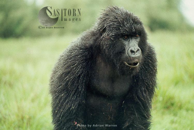 Mountain Gorilla (Gorilla G. Beringei), In The Rain, Virunga Volcanoes, Rwanda