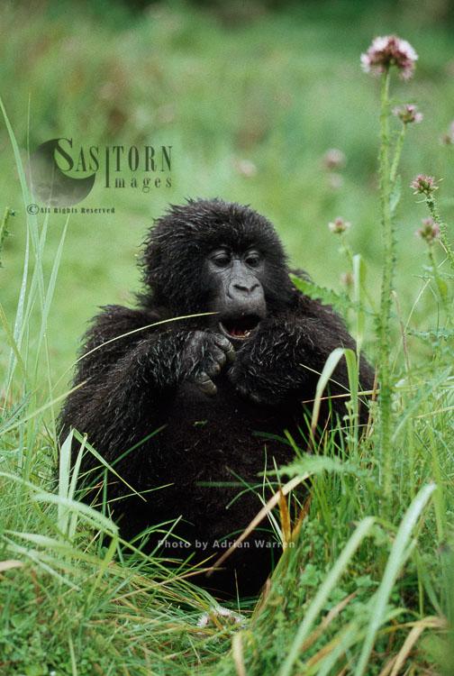 Mountain Gorilla (Gorilla G. Beringei), Feeding On Thistle, After Rain, Virunga Volcanoes, Rwanda