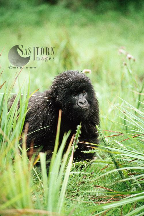 Mountain Gorilla (Gorilla G. Beringei), Feeding After Rain, Virunga Volcanoes, Rwanda