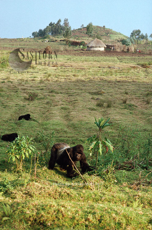 Mountain Gorilla (Gorilla G. Beringei), Silverback Male Feeding, Virunga Volcanoes, Rwanda