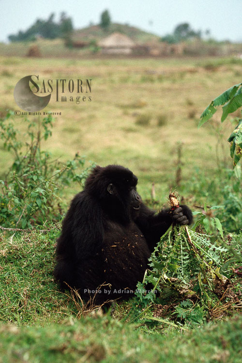 Mountain Gorilla (Gorilla G. Beringei), Young Gorilla Feeding Near The Village, Virunga Volcanoes, Rwanda