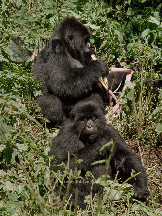Mountain Gorilla (Gorilla G. Beringei), Two Gorillas Feeding, Virunga Volcanoes, Rwanda