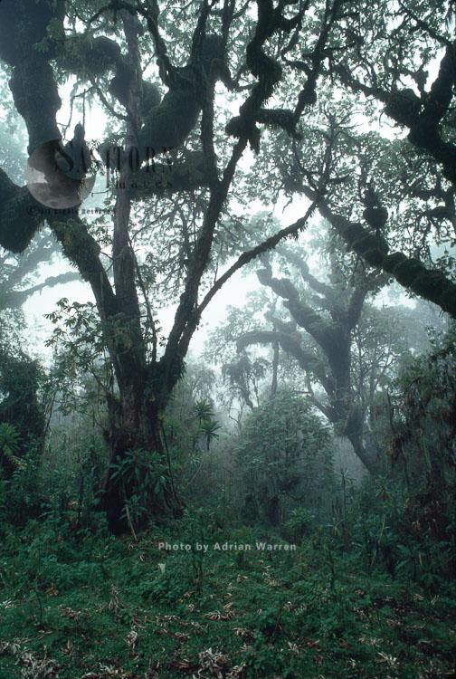 Hagenia (Hagenia Abyssinica) Forest, Mountain Gorilla Habitat Virunga Volcanoes, Rwanda