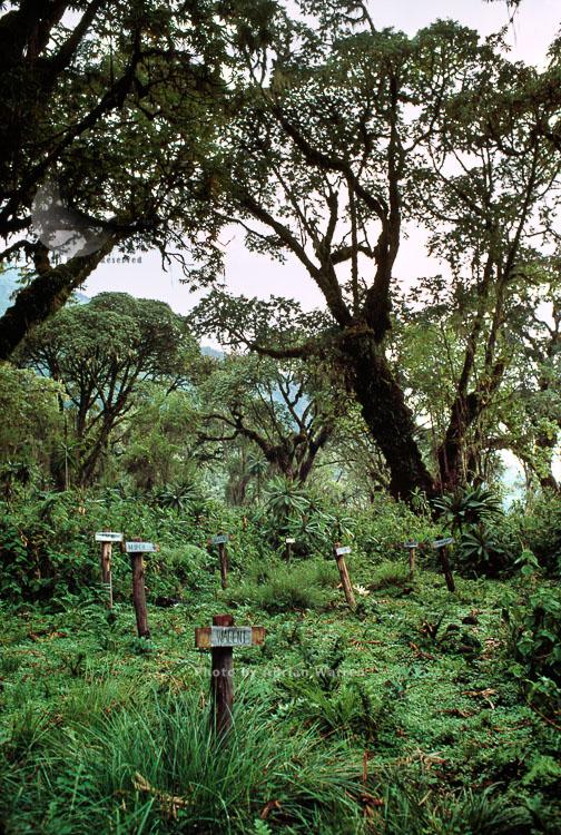 Mountain Gorilla Graveyard (Mountain Gorilla (Gorilla G. Beringei), Karisoke Research Centre, Virunga Volcanoes, Rwanda
