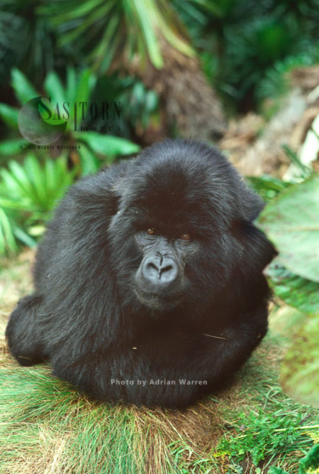 Mountain Gorilla (Gorilla G. Beringei),  In Sub-alpine Zone, Virunga Volcanoes, Rwanda, Africa