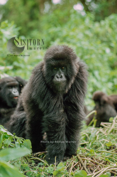 Mountain Gorillas (Gorilla G. Beringei), Juvenile (young) Virunga Volcanoes, Rwanda