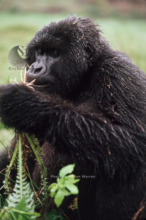 Mountain Gorilla (Gorilla G. Beringei), Feeding On Thistle In Rain, Virunga Volcanoes, Rwanda