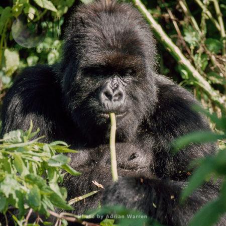 "Mountain Gorilla (Gorilla G. Beringei), 'Poppy"" 14 Years Old Adult Female, Virunga Volcanoes, Rwanda"