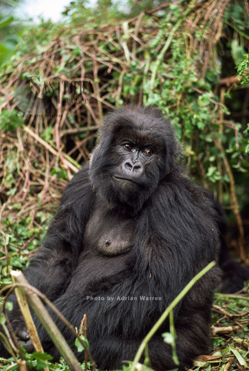 Mountain Gorilla (Gorilla G. Beringei), Adult Female, Virunga Volcanoes, Rwanda