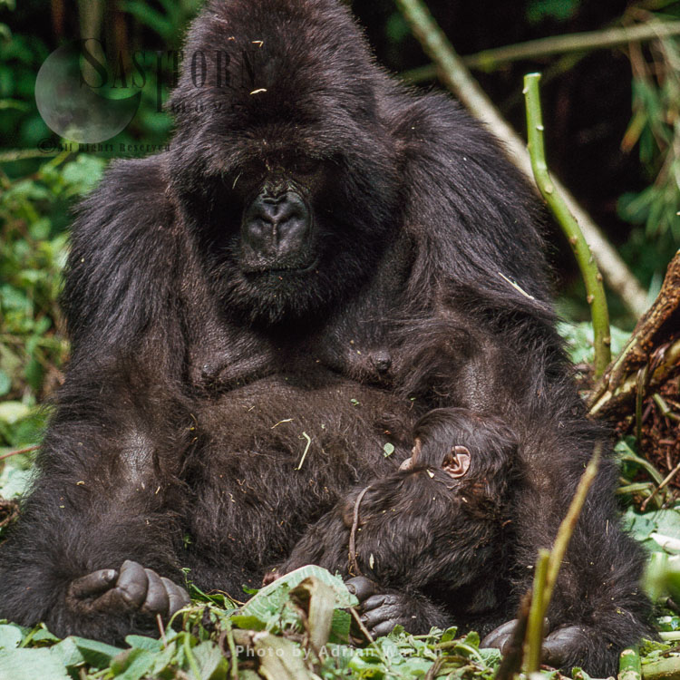 Mountain Gorilla (Gorilla G. Beringei), 'Amareba' Mother With Newborn Baby, Virunga Volcanoes, Rwanda