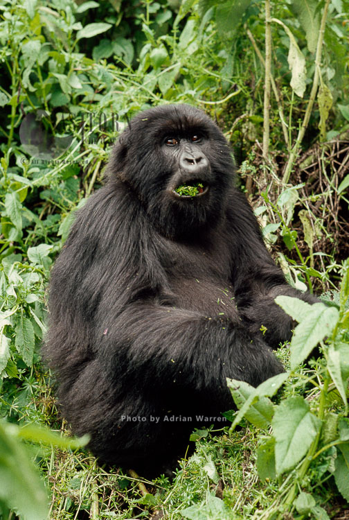 Mountain Gorilla (Gorilla G. Beringei), Feeding On Goosegrass, Virunga Volcanoes, Rwanda