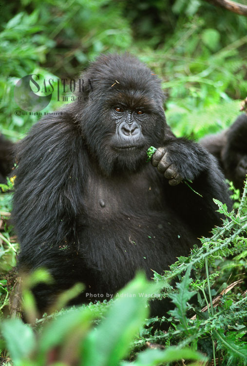 Mountain Gorilla (Gorilla G. Beringei), Feeding On Thistle, Virunga Volcanoes, Rwanda