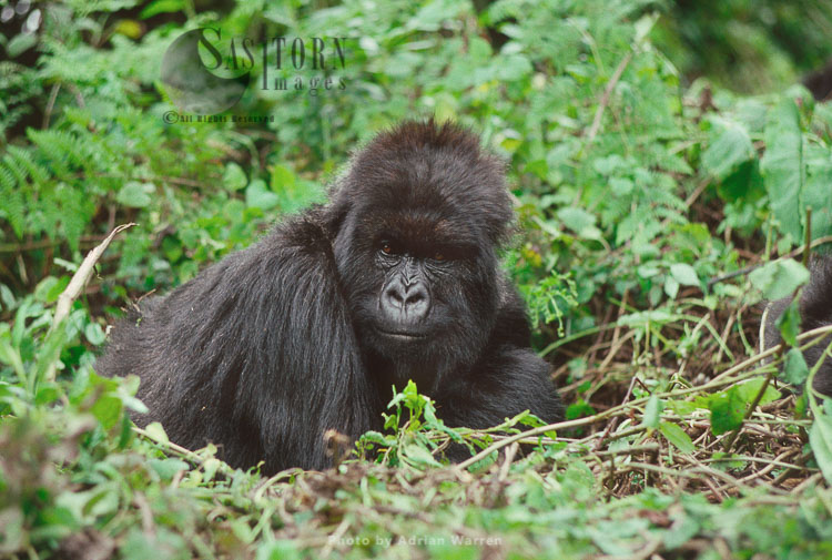 "Mountain Gorilla (Gorilla G. Beringei), 'Poppy"" 14 Years Old Adult Female, Virunga Volcanoes, Rwanda"
