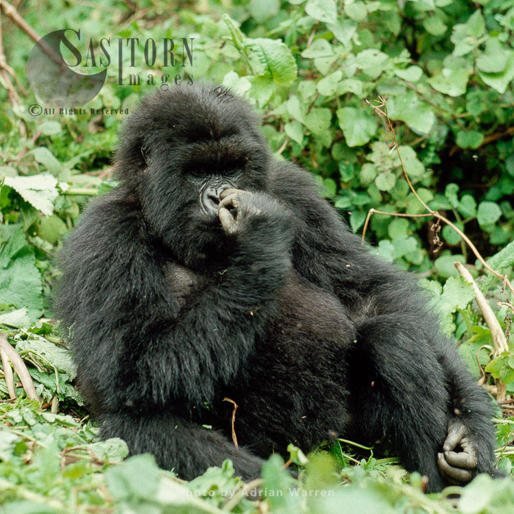 "Mountain Gorilla (Gorilla G. Beringei), 'Poppy"" 14 Years Old Adult Female, Susa Group, Virunga Volcanoes, Rwanda"