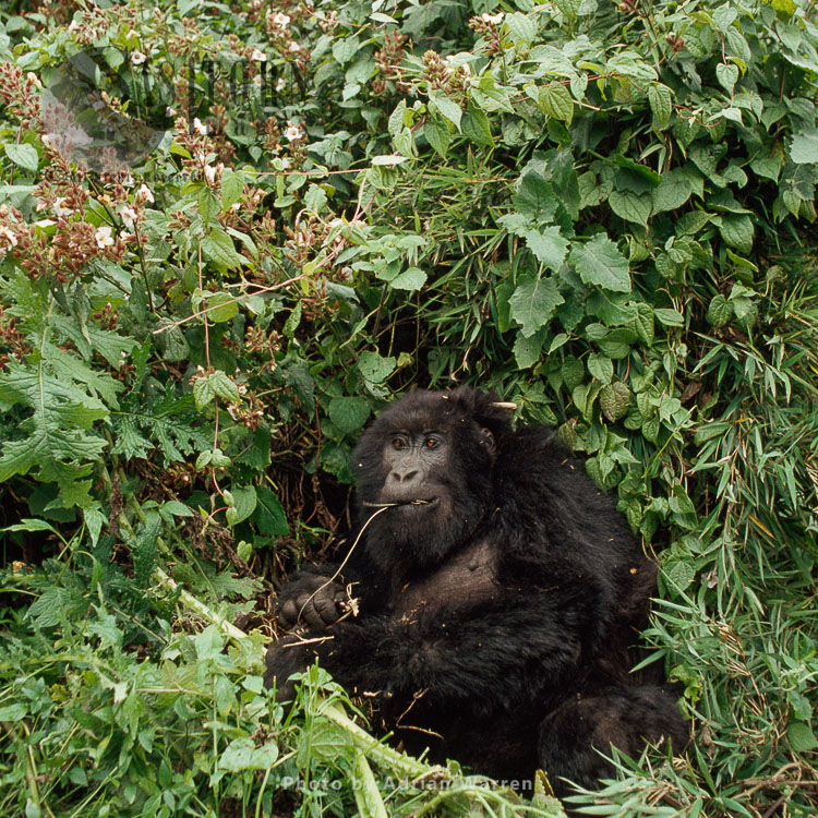 Mountain Gorilla (Gorilla G. Beringei), IMBELE Female Feeding, Virunga Volcanoes, Rwanda