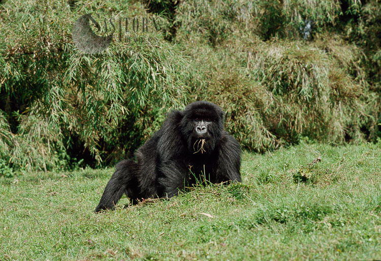 Mountain Gorilla (Gorilla G. Beringei), Feeding On Grass, Virunga Volcanoes, Rwanda