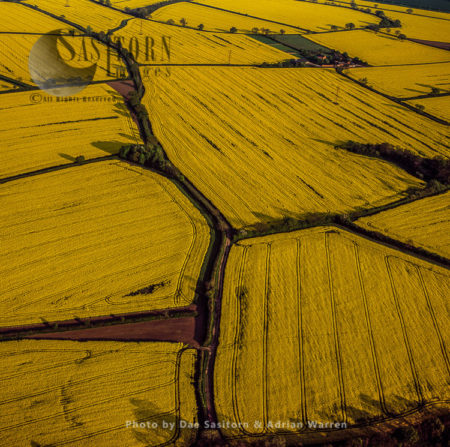 Fields Of Rapeseed, Norfolk, East Anglia, England