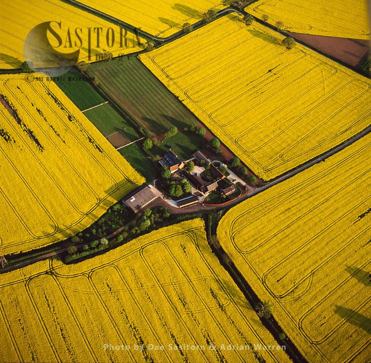Fields Of Rapeseed, Norfolk, East Anglia, England