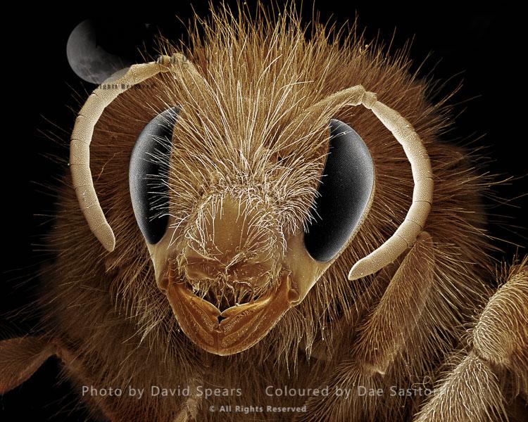 SEM: Bumblebee, Bombus Terrestris; Magnification X 40 At A4 Print Size
