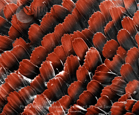 Red Admiral Butterfly's Wing Scales