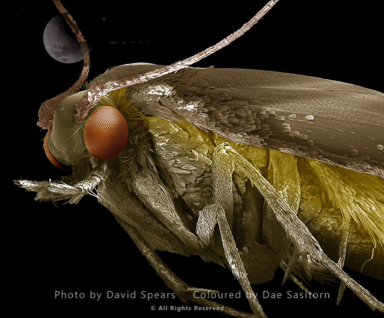 SEM: Common Clothes Moth, Tineola Bisselliella; Magnification X 75 At A4 Print Size