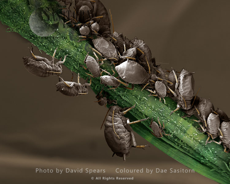 SEM: Black Aphid, Aphis Sp.; Magnification X 40 At A4 Print Size