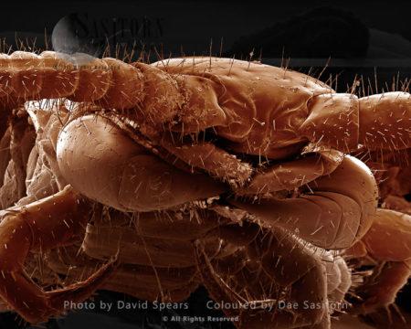 Common Centipede