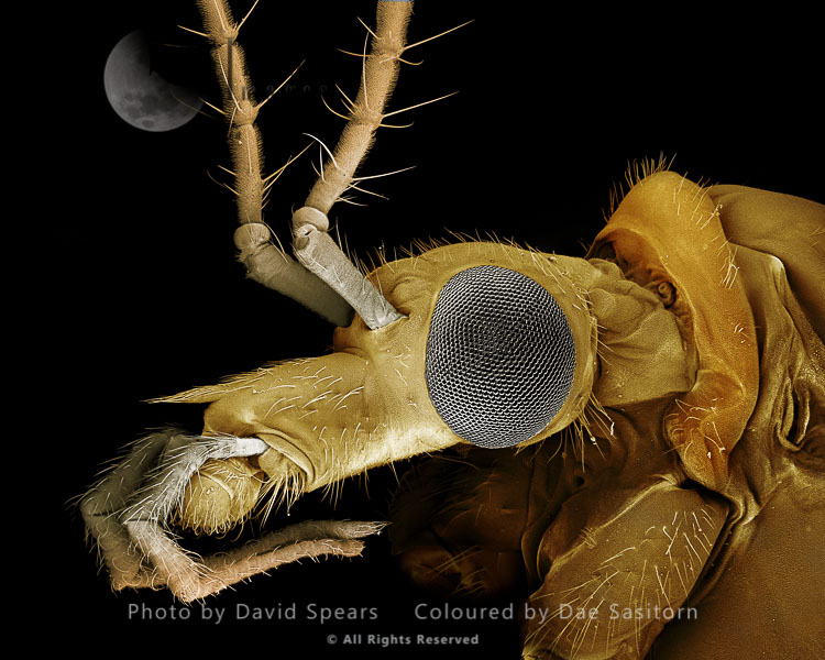 SEM: Crane Fly Or Daddy-Long-Legs,  Tipula Paludosa; Magnification X 75 At A4 Print Size