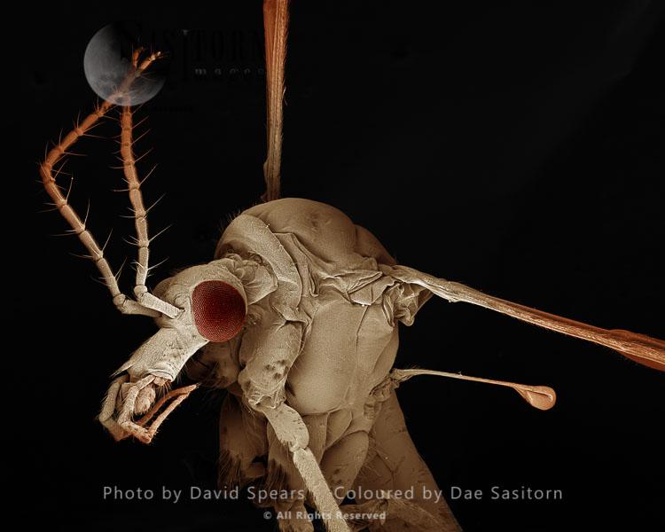 SEM: Crane Fly Or ïDaddy-Long-LegsÍ,  Tipula Paludosa; Magnification X 30 At A4 Print Size