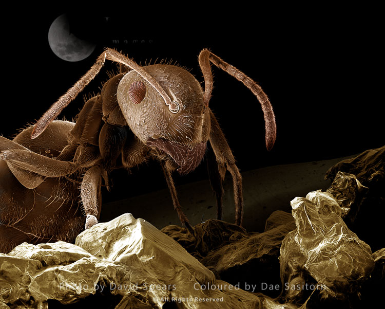 SEM: Black Garden Ant With Sugar, Lasius Niger; Magnification X 85 At A4 Print Size